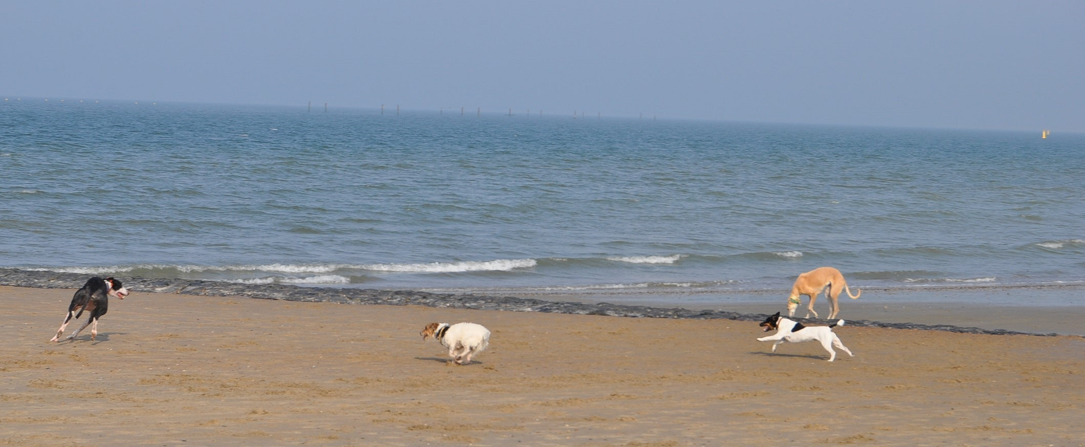 Mogli und Pebbels am Strand in Zeeland