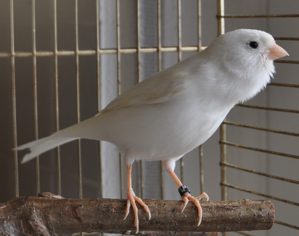 Championvogel Gesangsfarbe dominant weiß