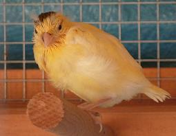 flügger Farbkanarienvogel