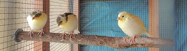 Jungvögel in der Voliere