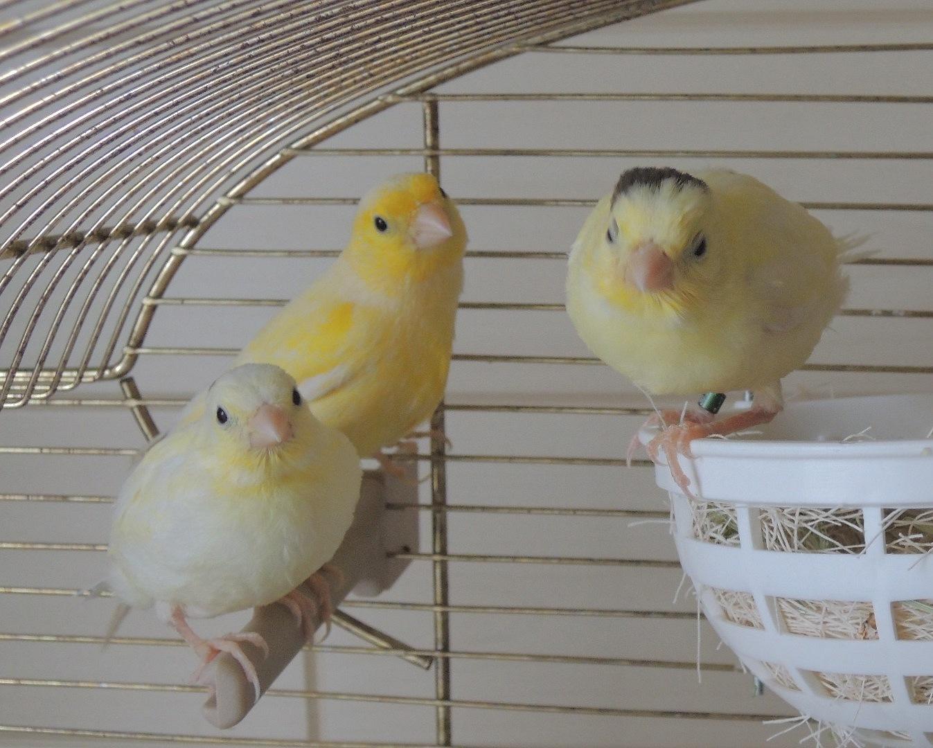 gelbe Henne mit Jungen