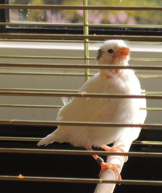 dominant weisser Harzer Roller Jungvogel im Sonnenschein