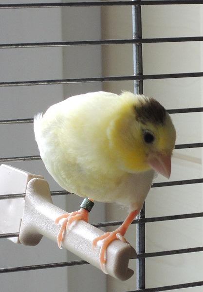 Jungvogel Harzer Roller