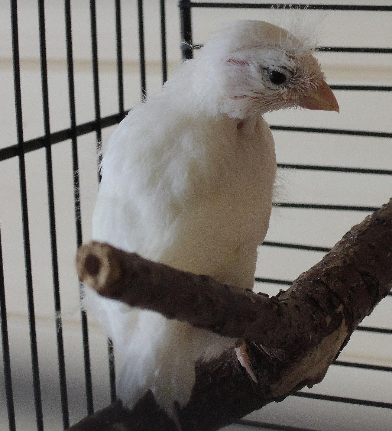 21 Tage alter Harzer Edelroller Henne
